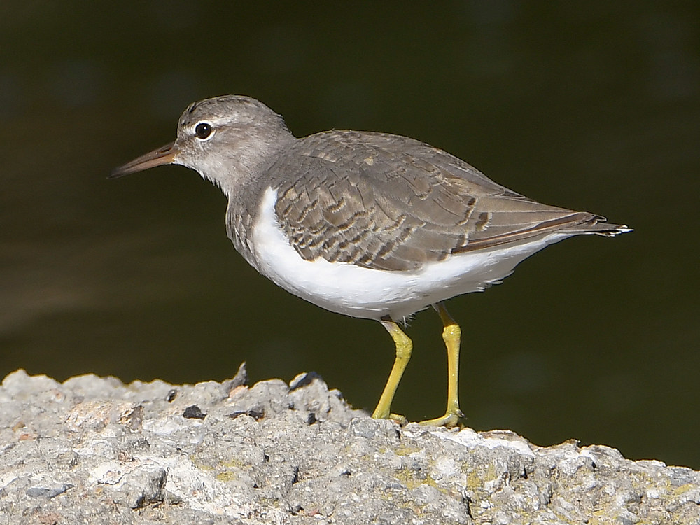 Post your birds (2)-sandpiper.jpg