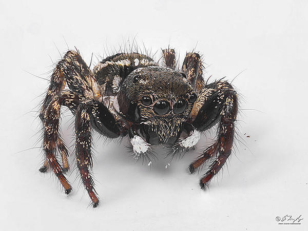 Post your spiders-jumpingspider1000.jpg