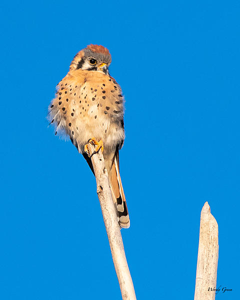 Post your birds (2)-kestrel-400.jpg
