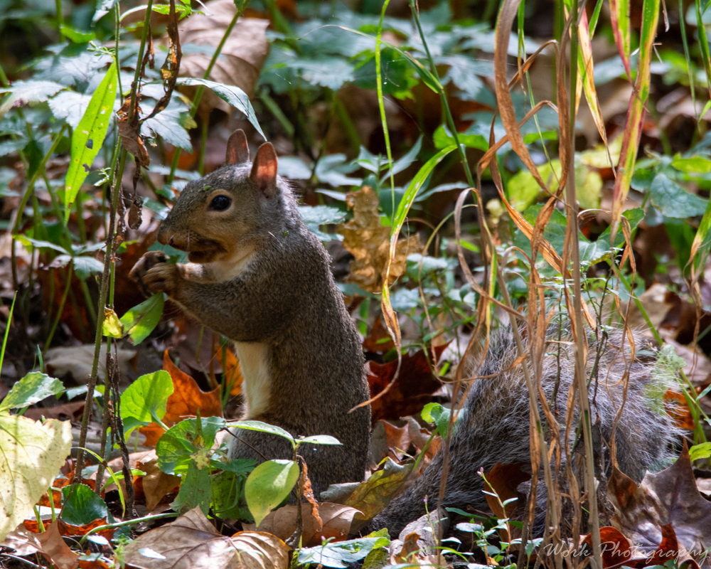 Post your Squirrel pictures-spring-mill-1033.jpg
