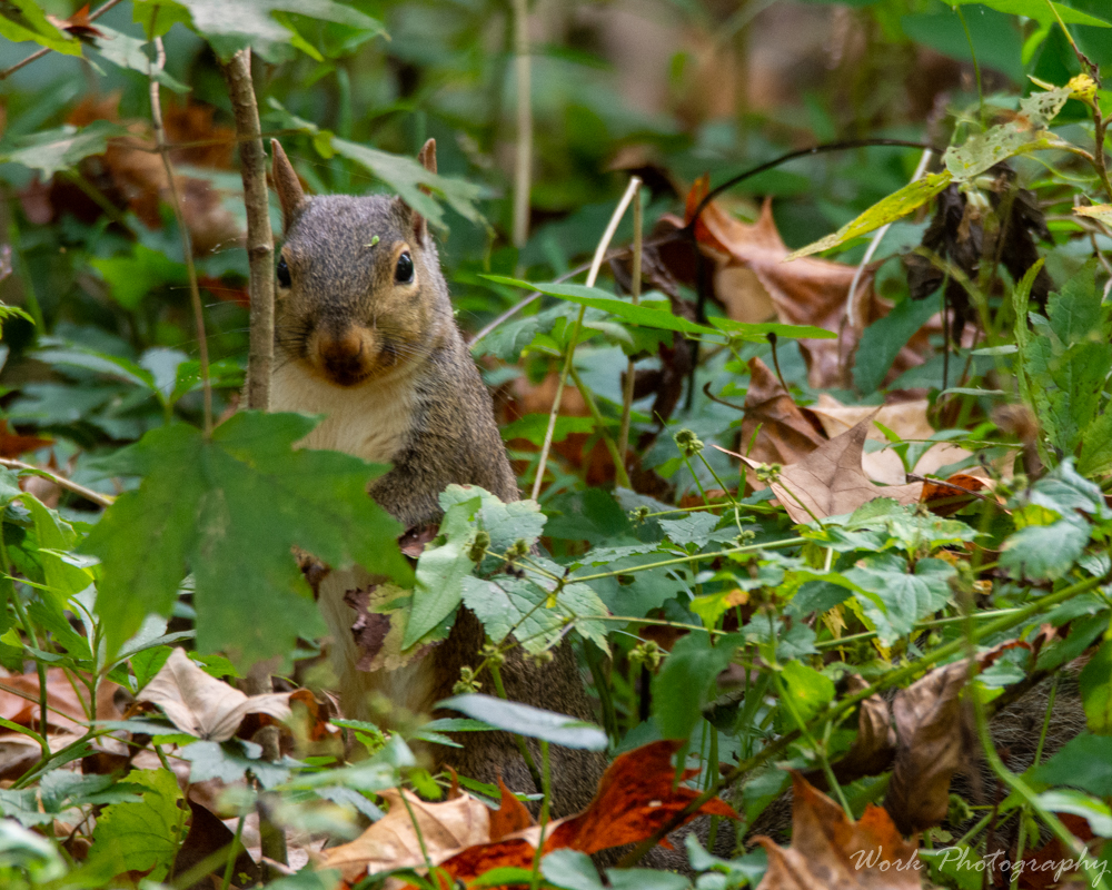 Post your Squirrel pictures-spring-mill-1034.jpg
