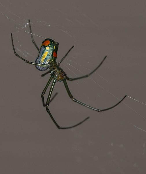 Post your spiders-orchard-spider.jpg