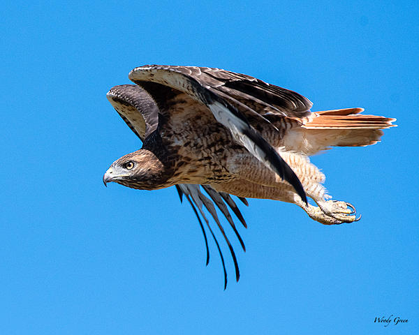 Post your Birds in Flight-red-tailed-411.jpg