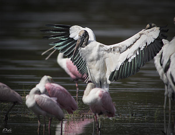 Post your birds (2)-wood-stork-spreading-wings.jpg