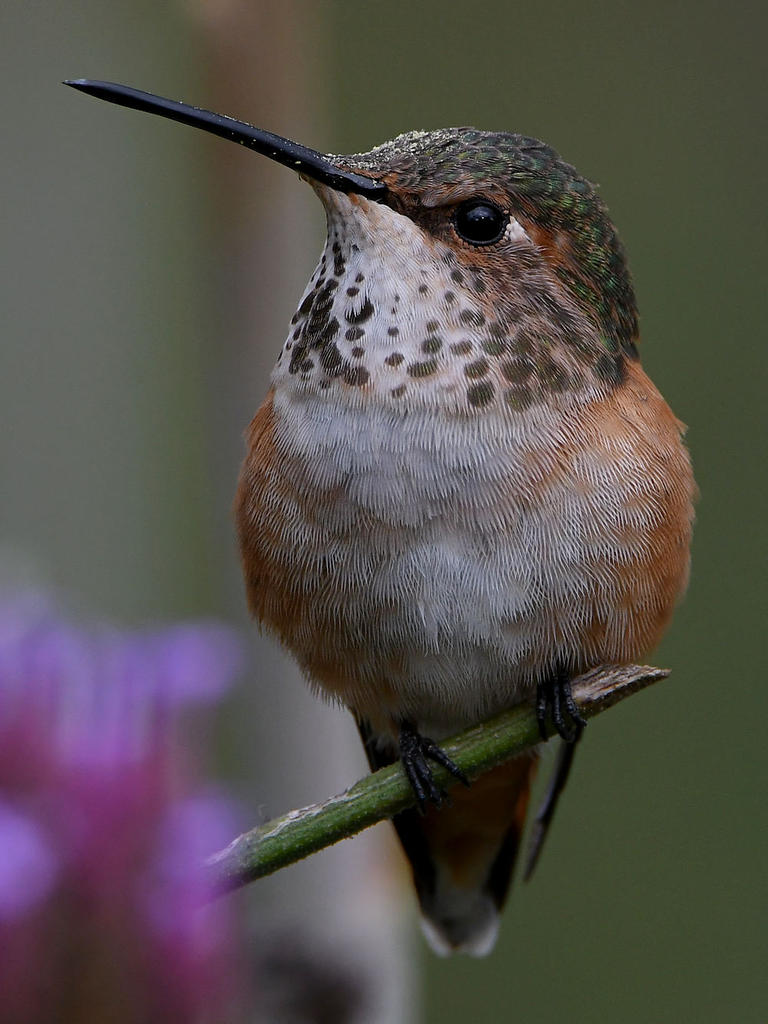 Post your birds (2)-hummer41.jpg