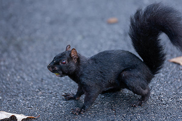 Post your Squirrel pictures-cleveland-9036.jpg
