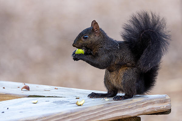 Post your Squirrel pictures-cleveland-9049.jpg