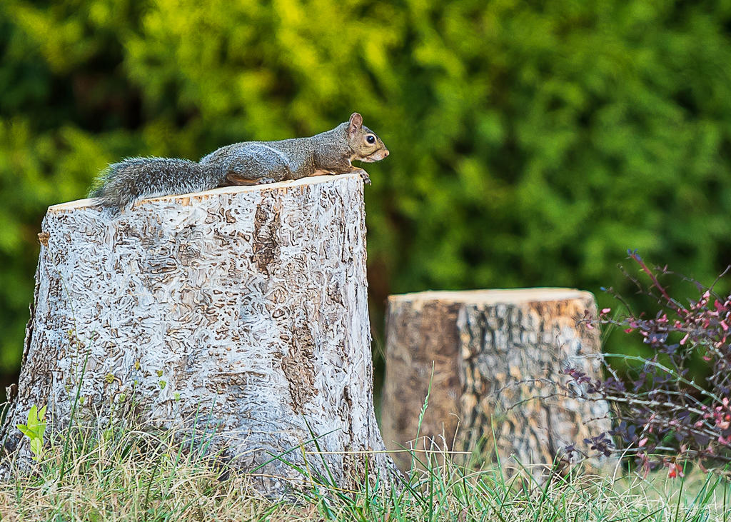 Post your Squirrel pictures-morning-walk-0443.jpg
