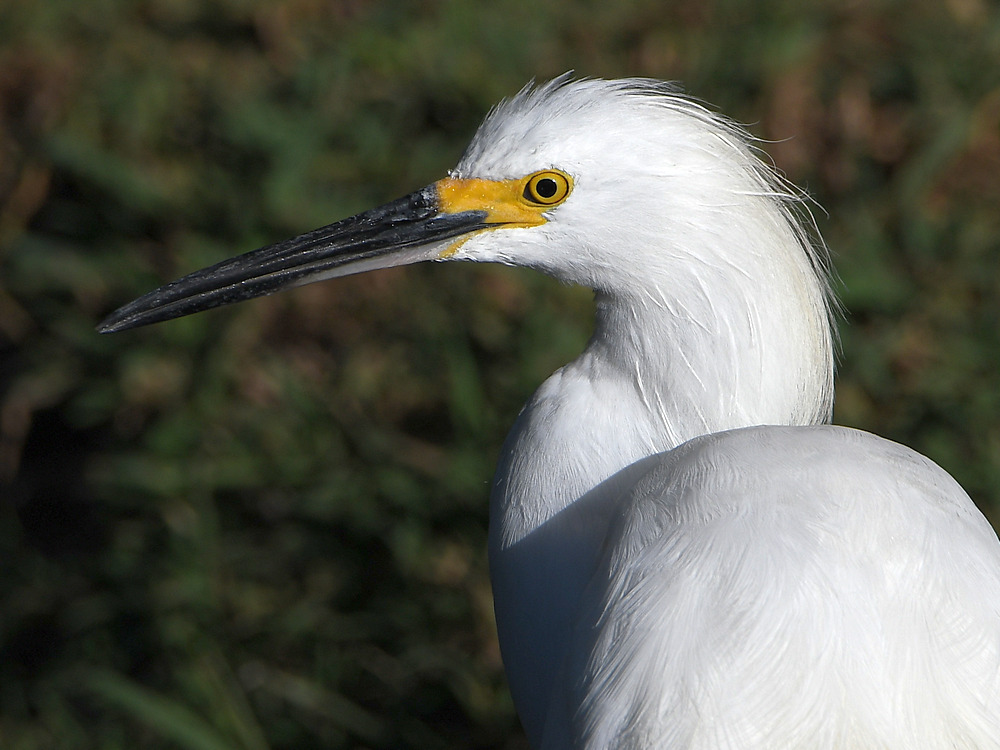 Post your birds (2)-egret6.jpg