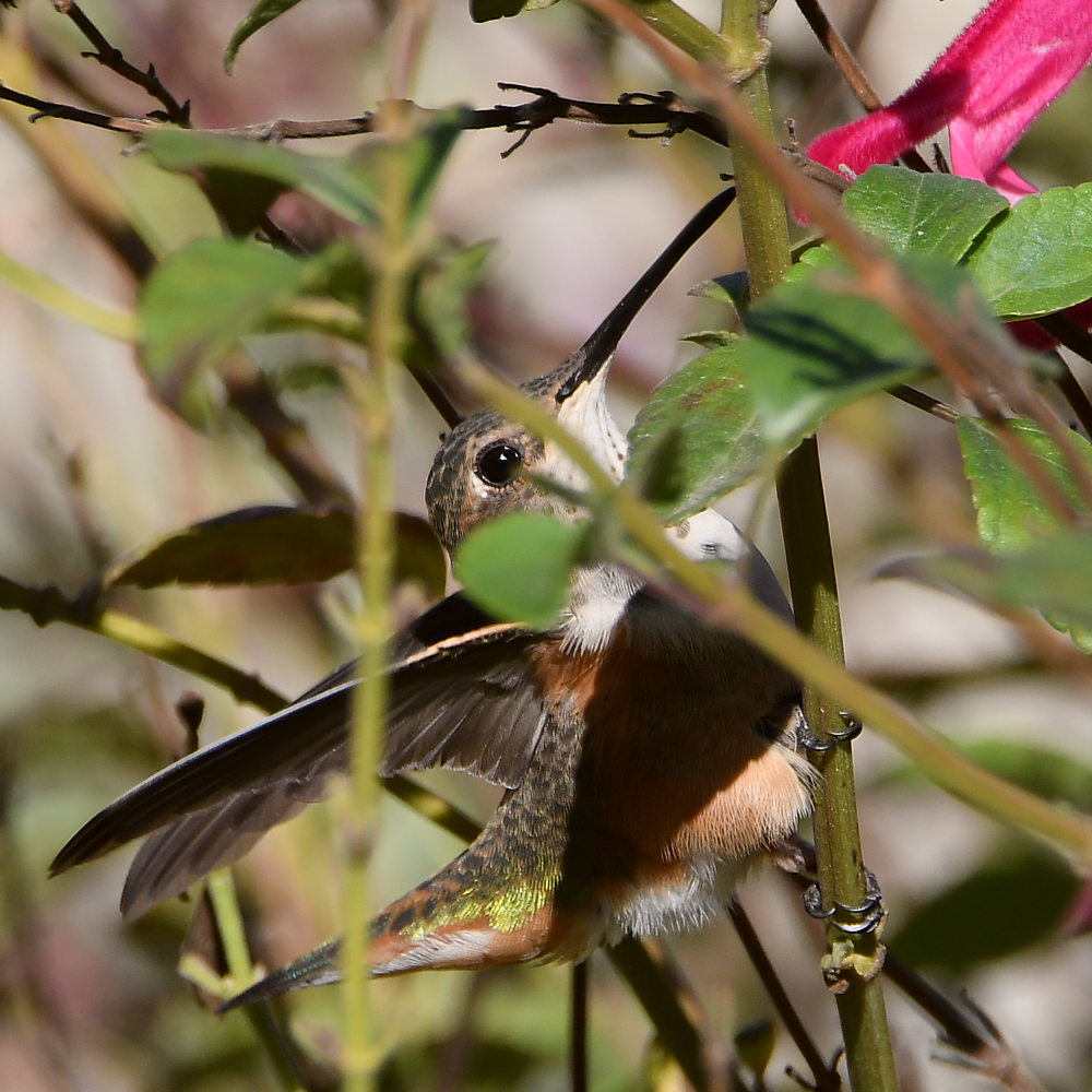 Post your Hummingbird Photos-hummer24.jpg