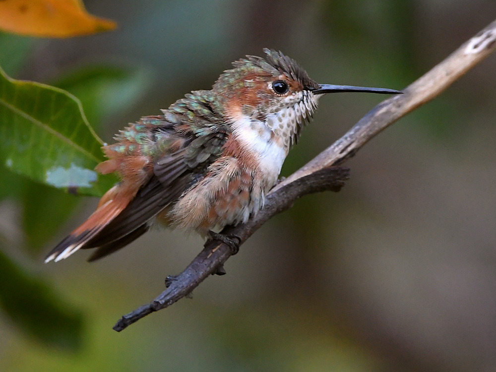 Post your Hummingbird Photos-hummer3.jpg