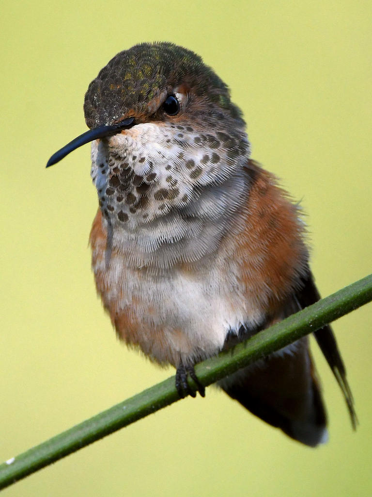 Post your Hummingbird Photos-hummer28.jpg