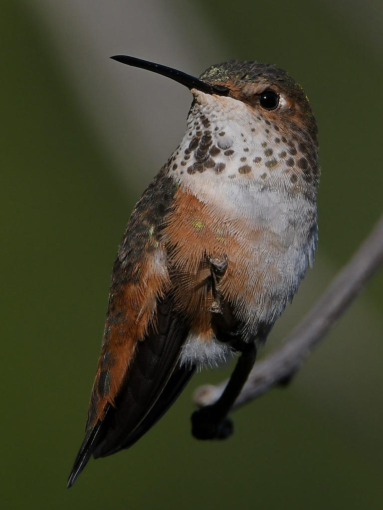 Post your Hummingbird Photos-hummer45.jpg