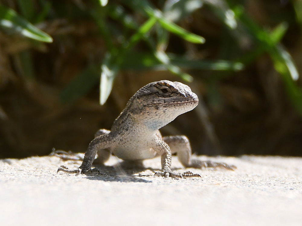 Let's see some reptiles...-lizard.jpg