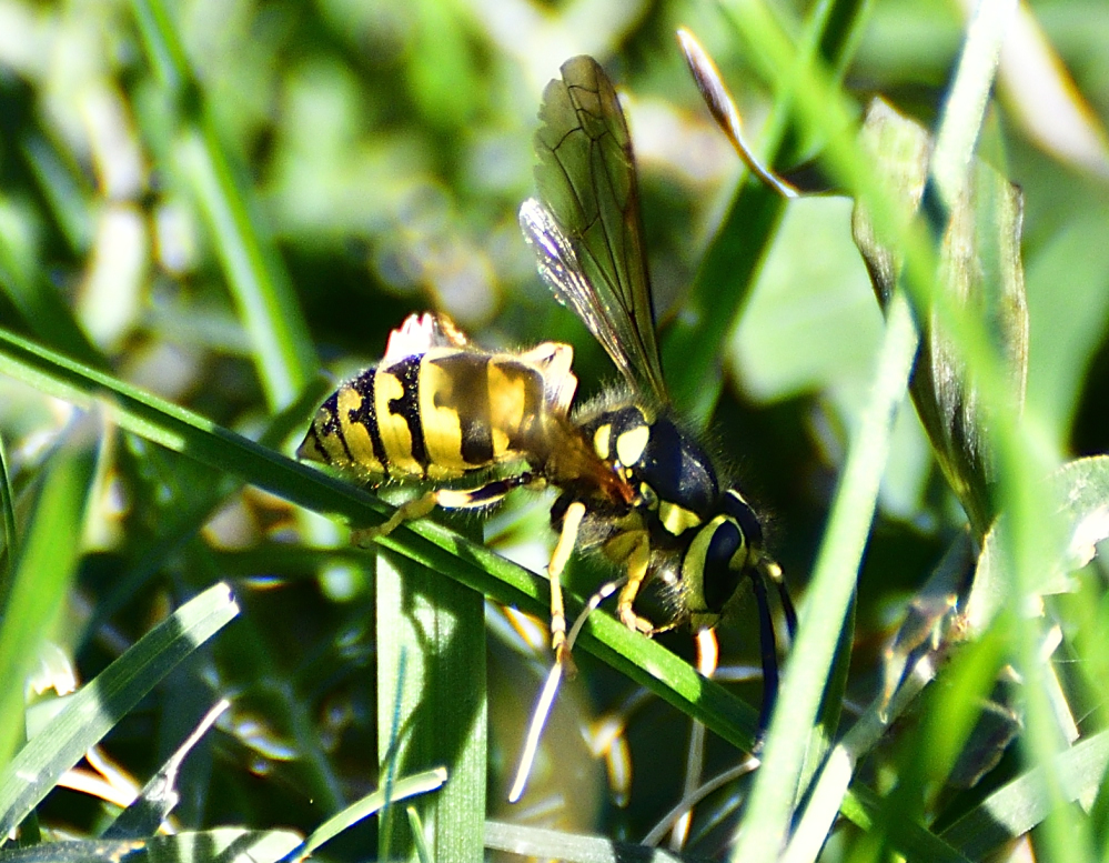 Post your dragonflies and bees/wasps-_roy3945.jpg