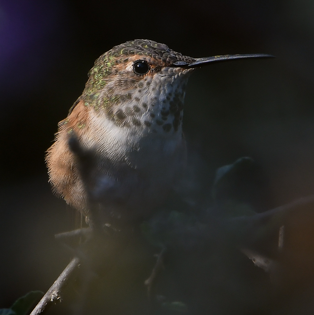 Post your birds (2)-hummer47.jpg