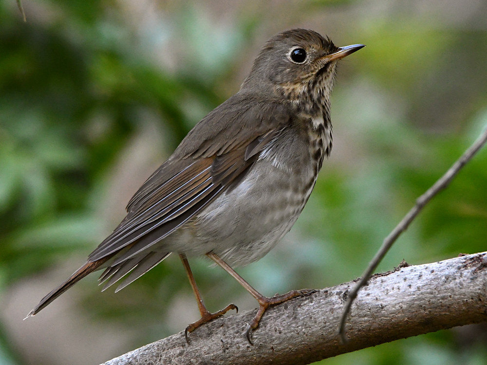 Post your birds (2)-hermitthrush13.jpg