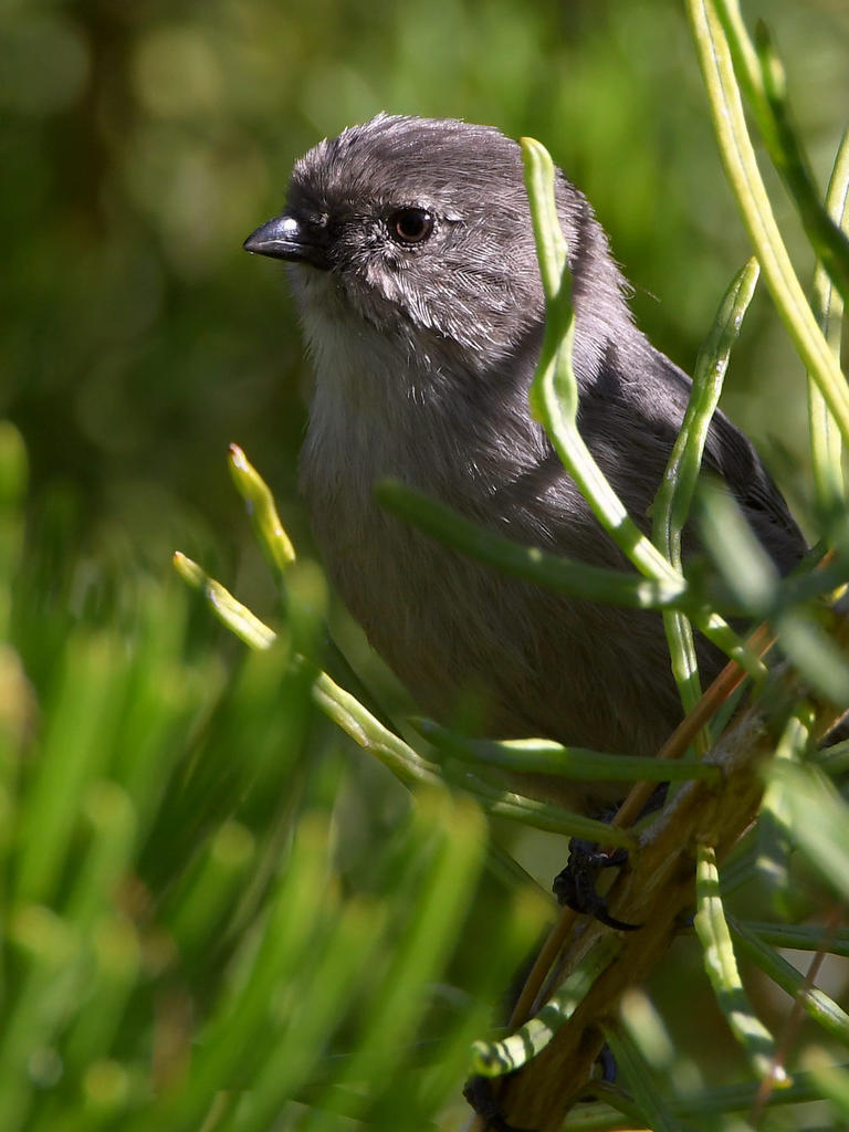 Post your birds (2)-bushtit3.jpg