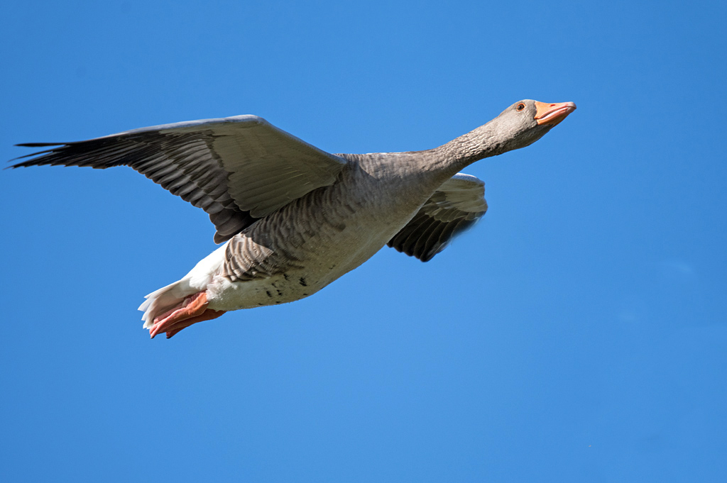 Post your Birds in Flight-dsc_4937.jpg