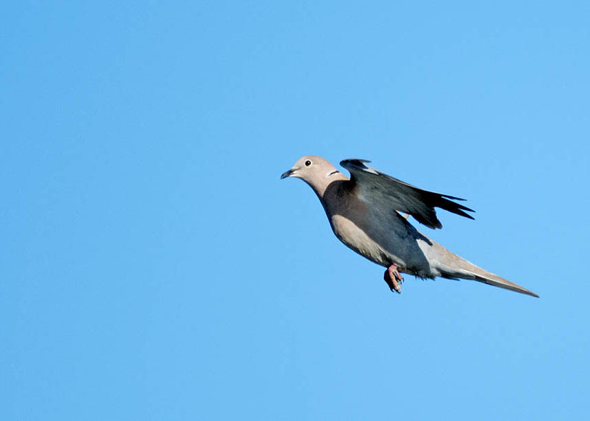 Post your Birds in Flight-dsc_5582.jpg