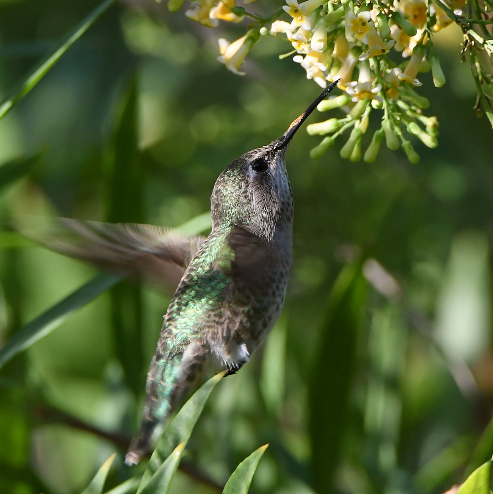 Post your Birds in Flight-hummer8.jpg