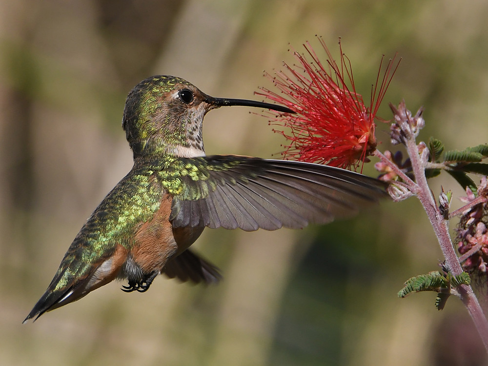 Post your Birds in Flight-hummer22.jpg