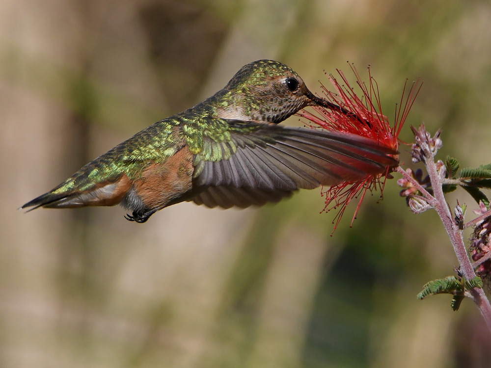 Post your Birds in Flight-hummer24.jpg