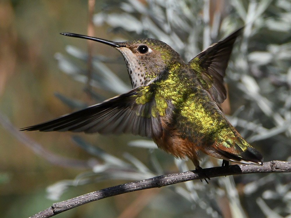 Post your Birds in Flight-hummer28.jpg
