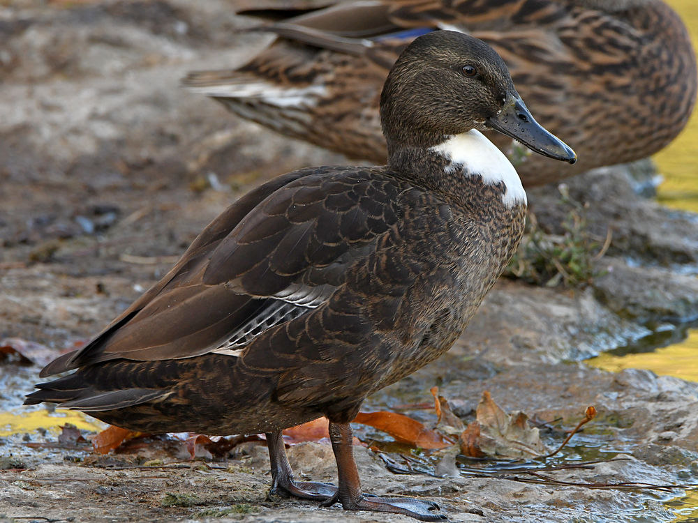 Can you help ID this bird please?-duck.jpg