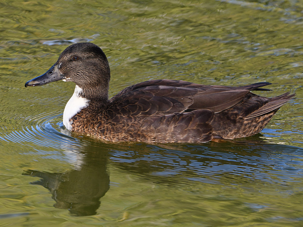 Can you help ID this bird please?-duck2.jpg