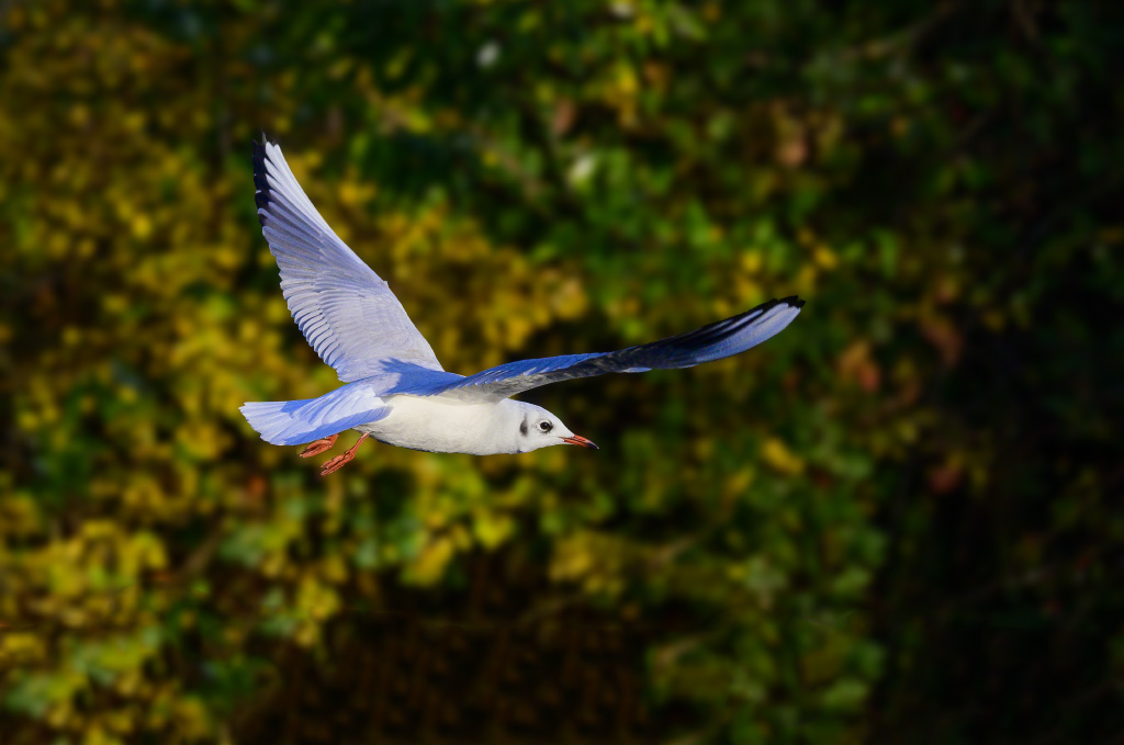 Post your Birds in Flight-dsc_0076.jpg