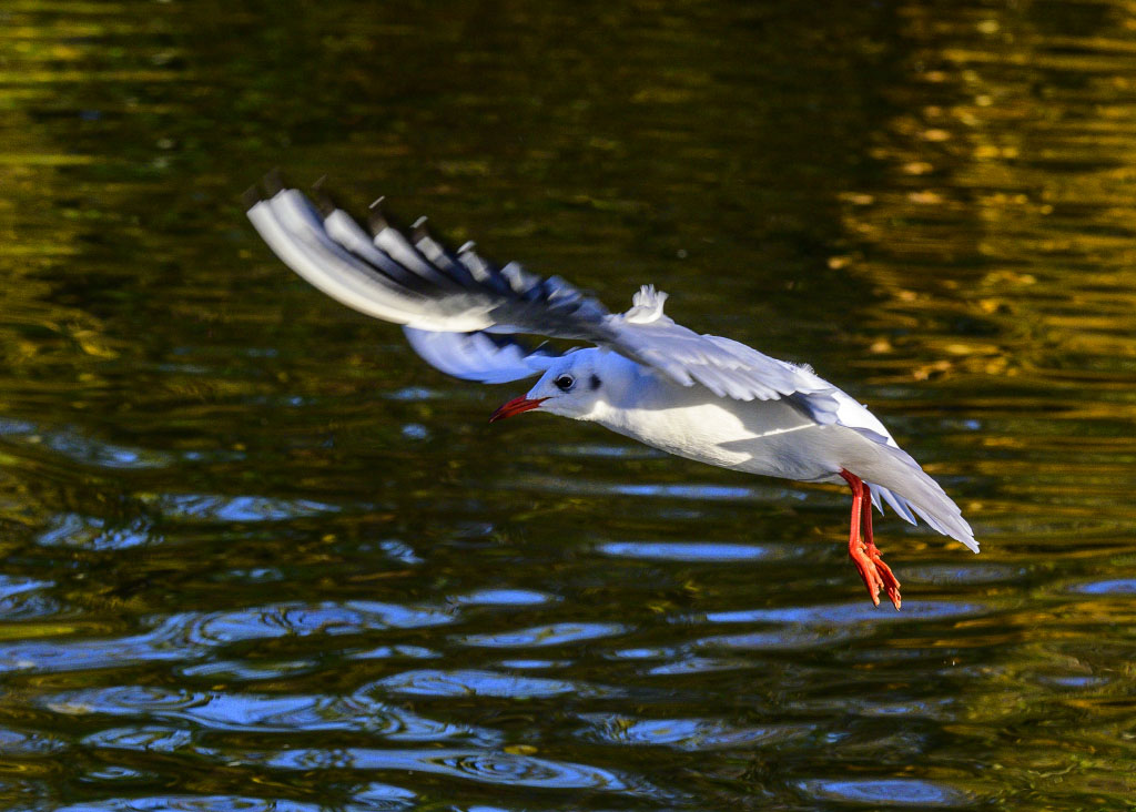 Post your Birds in Flight-dsc_0197.jpg