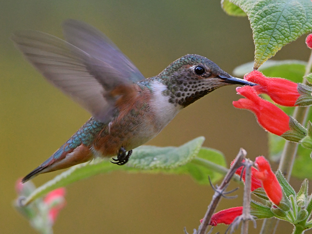 Post your Birds in Flight-hummer23.jpg
