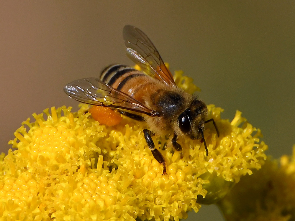 Post your dragonflies and bees/wasps-bee3.jpg