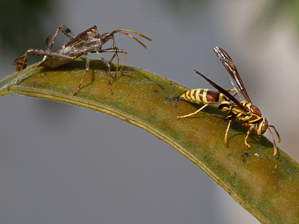 Post your dragonflies and bees/wasps-wasp2.jpg