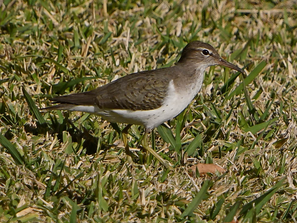Post your birds (2)-sandpiper2.jpg