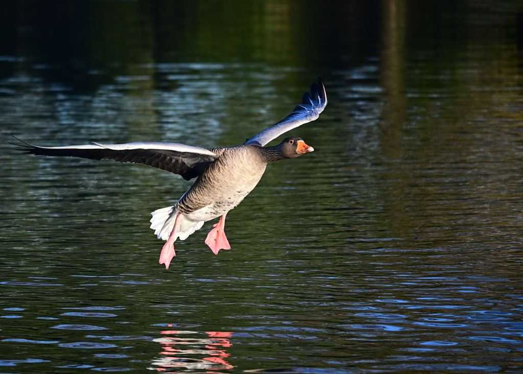 Post your Birds in Flight-dsc_1252.jpg