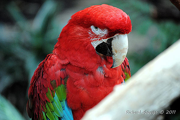 Polly wants a Picture - Post your Parrot Pics-dsc_2415.jpg