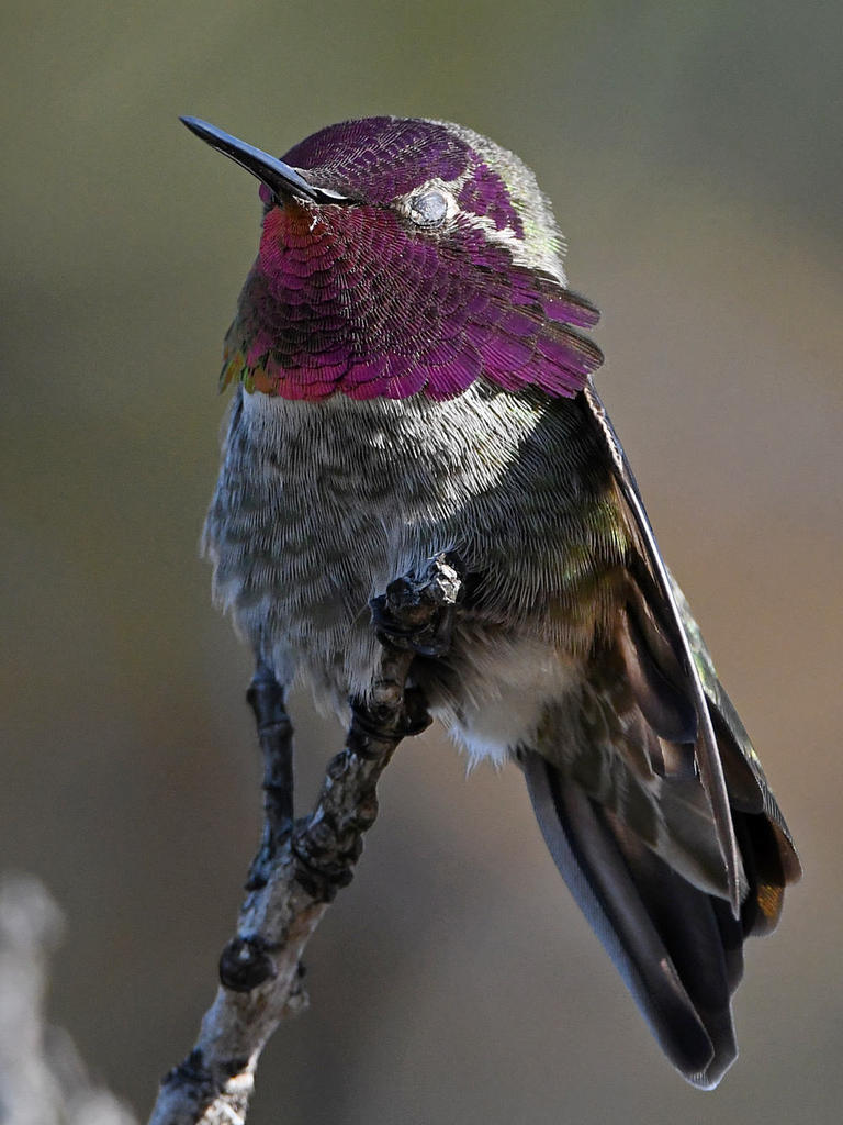 Post your birds (2)-hummer7.jpg