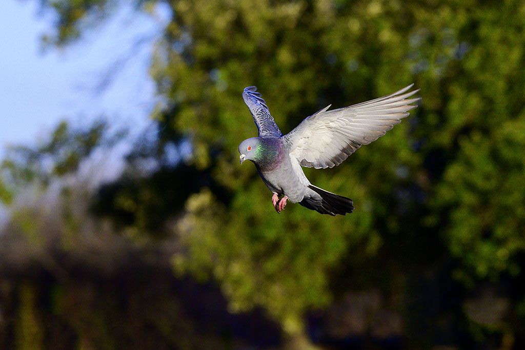 Post your Birds in Flight-dsc_1940.jpg
