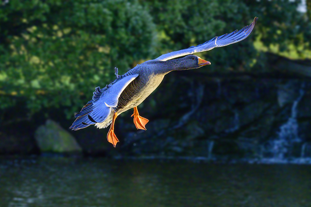 Post your Birds in Flight-dsc_1865.jpg