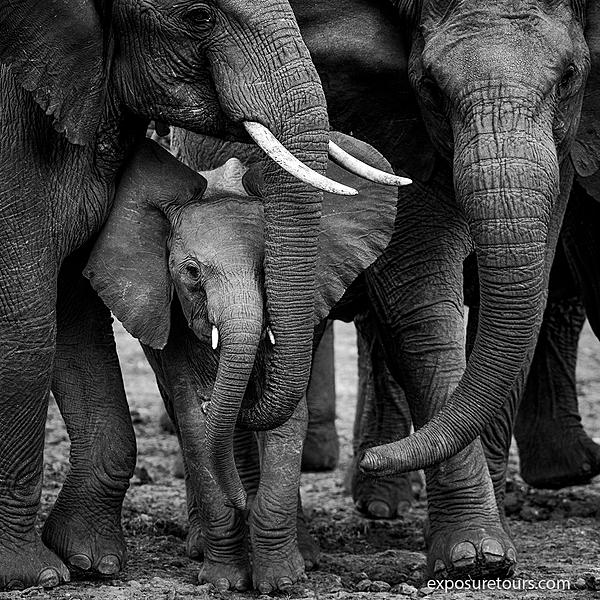 Monochrome Elephants-monochrome-elephants.jpg