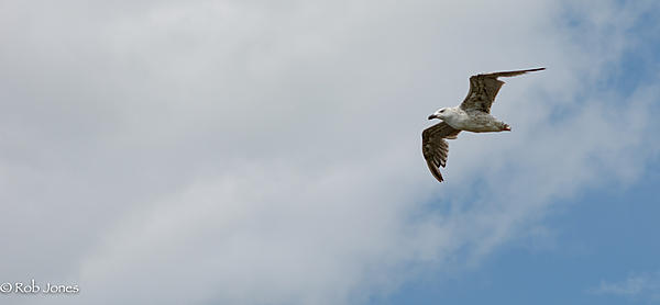 Post your Birds in Flight-seagull.jpg