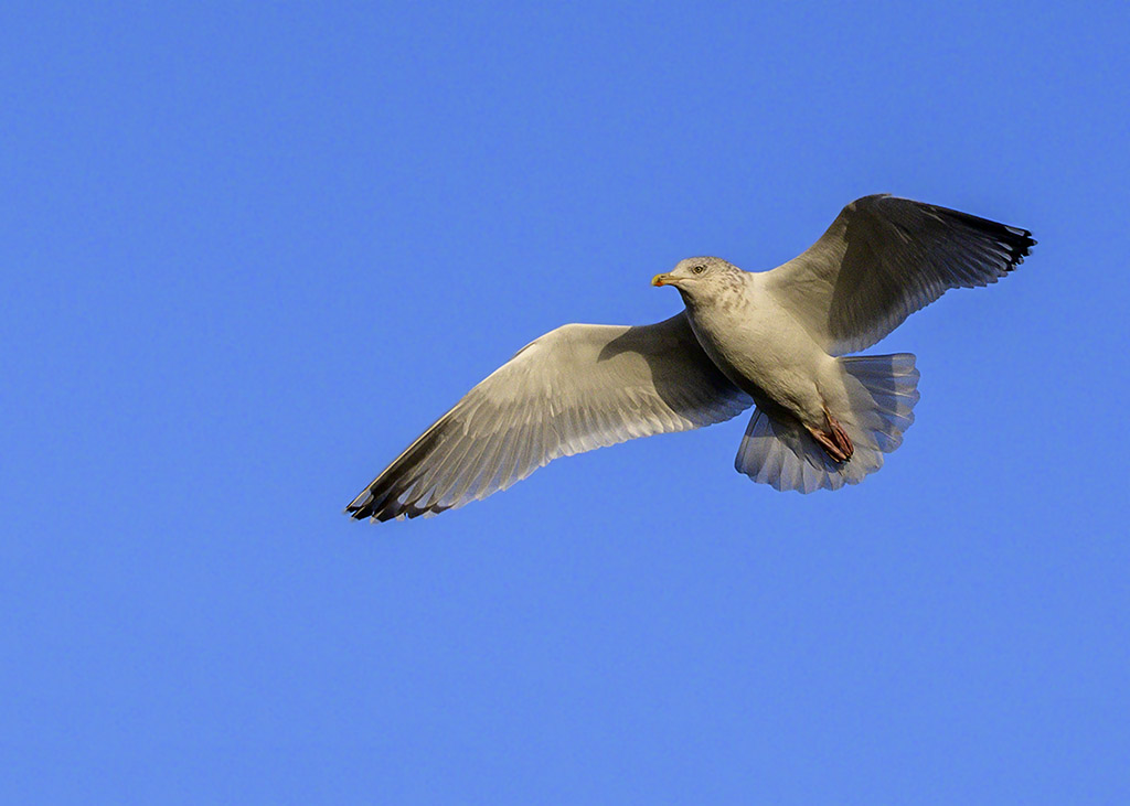 Post your Birds in Flight-dsc_2209.jpg