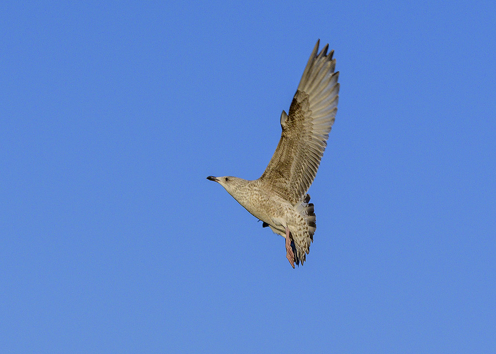 Post your Birds in Flight-dsc_2244.jpg