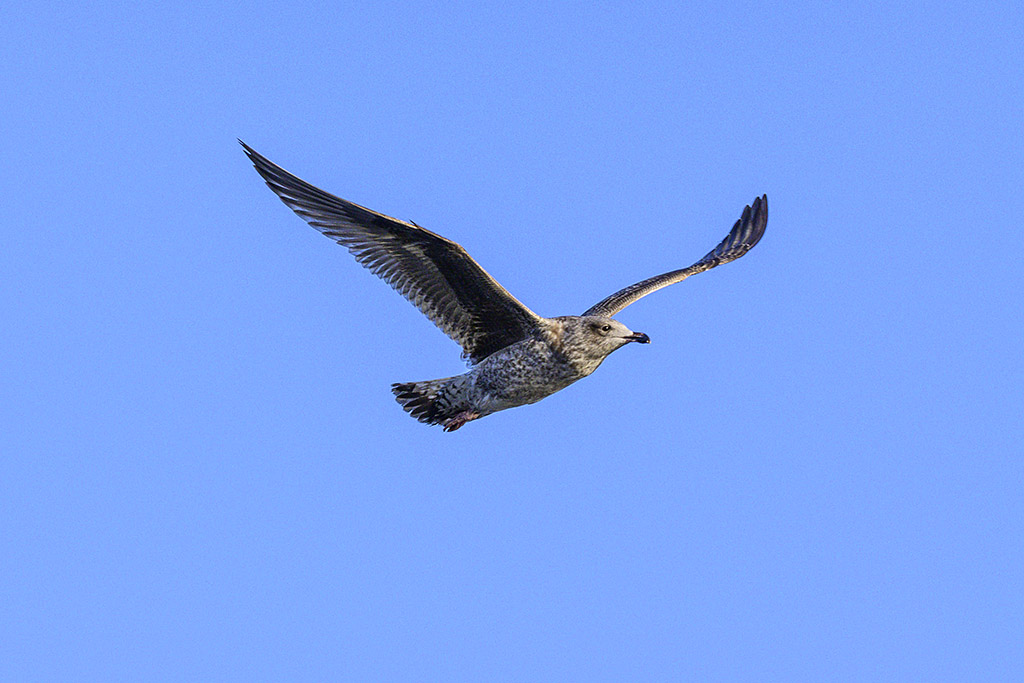 Post your Birds in Flight-dsc_2267.jpg