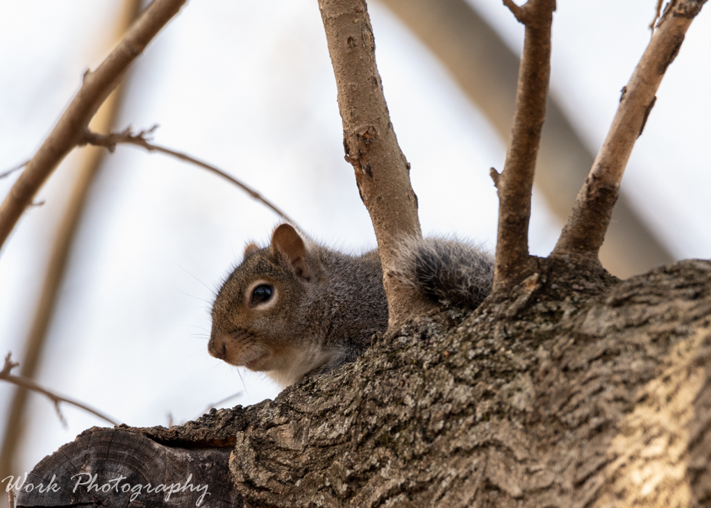Post your Squirrel pictures-rd5_2273.jpg
