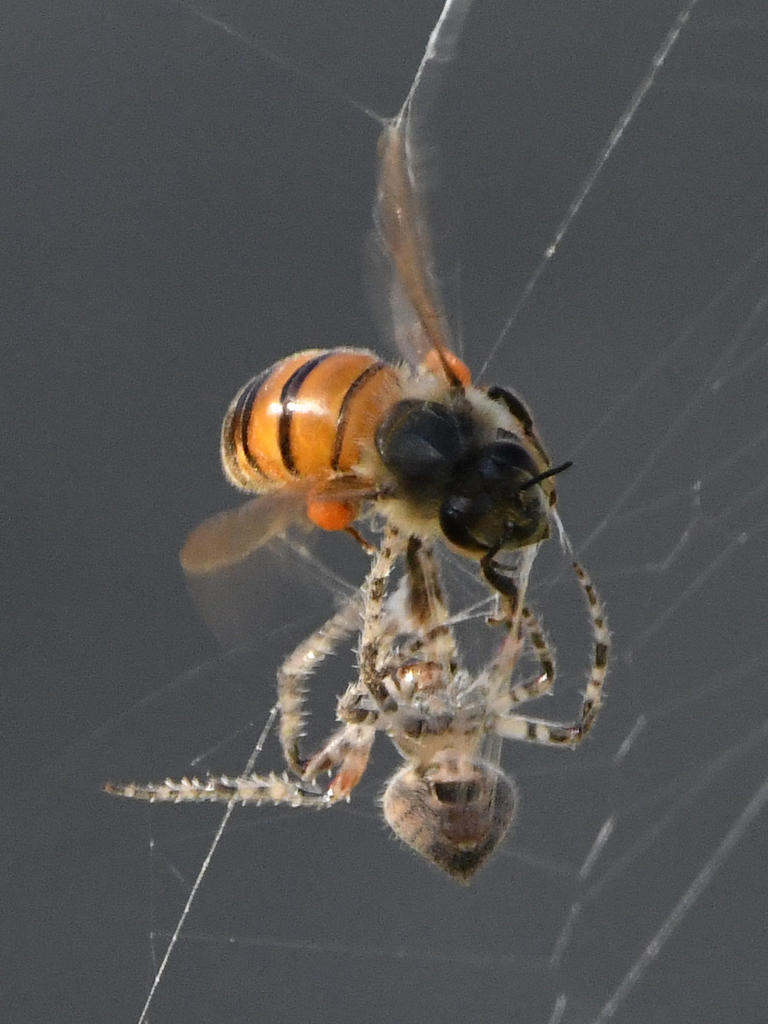 Post your dragonflies and bees/wasps-spiderbee3.jpg