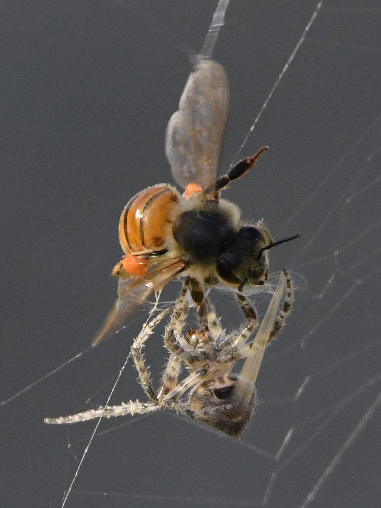 Post your dragonflies and bees/wasps-spiderbee4.jpg
