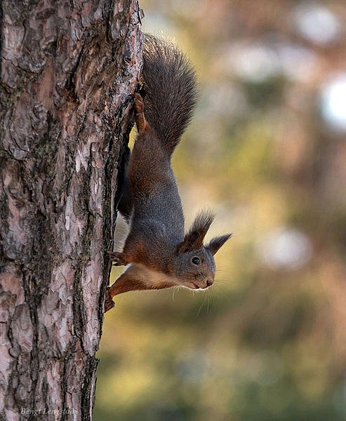 Post your Squirrel pictures-d810-3211.jpg